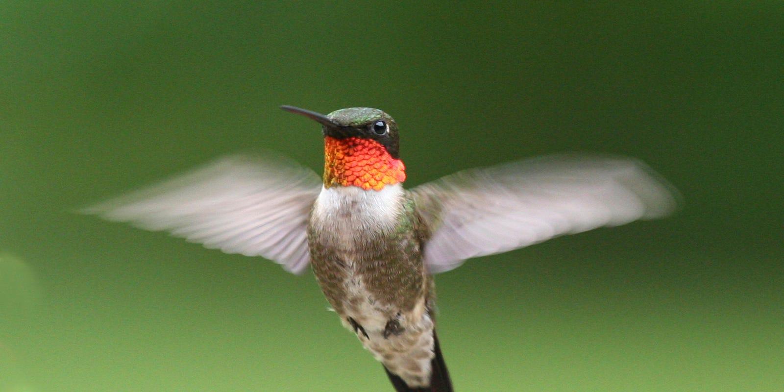 Hummingbirds 19 Things To Know