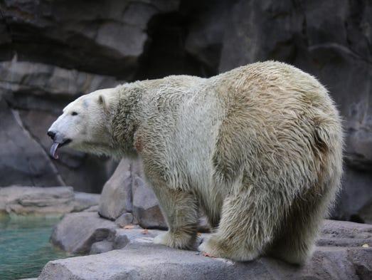 Berit, a female polar bear, plays at the Cincinnati