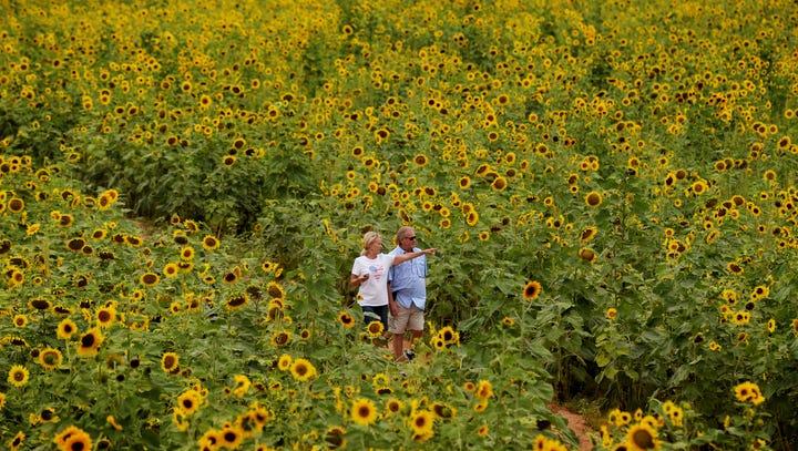 Golden sunflowers fill north Caddo Parish highways & byways