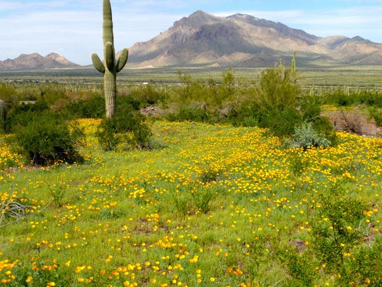 A wet winter often brings  early wildflowers at Picacho