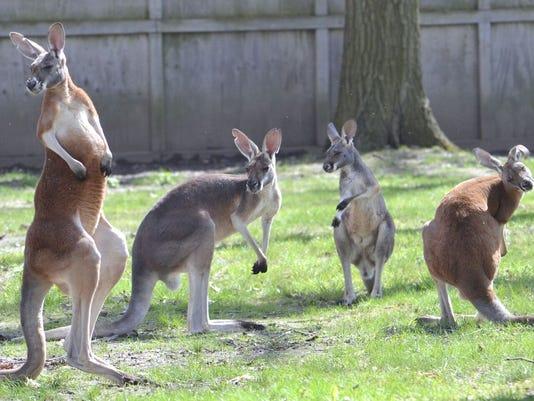 636300219637744734-kangaroos.jpg