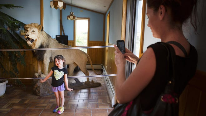 Carie Garlock of Bloomfield takes a picture of her daughter, Marley Schmitt, 4, in front of a trophy lion that was killed on a hunt by Dominic Bocanelli at Pudgie's Pizza Pasta and Subs in Canandaigua on July 31, 2015.