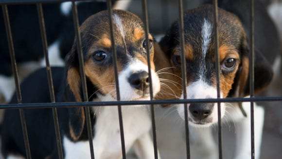 Beagle puppies were rescued from a breeder