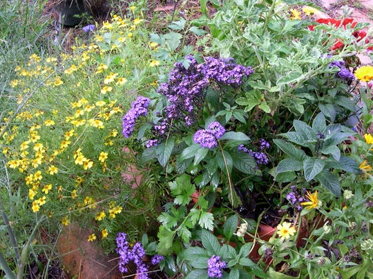 Old-fashioned heliotrope makes a great patio plant, especially when paired with other annuals.