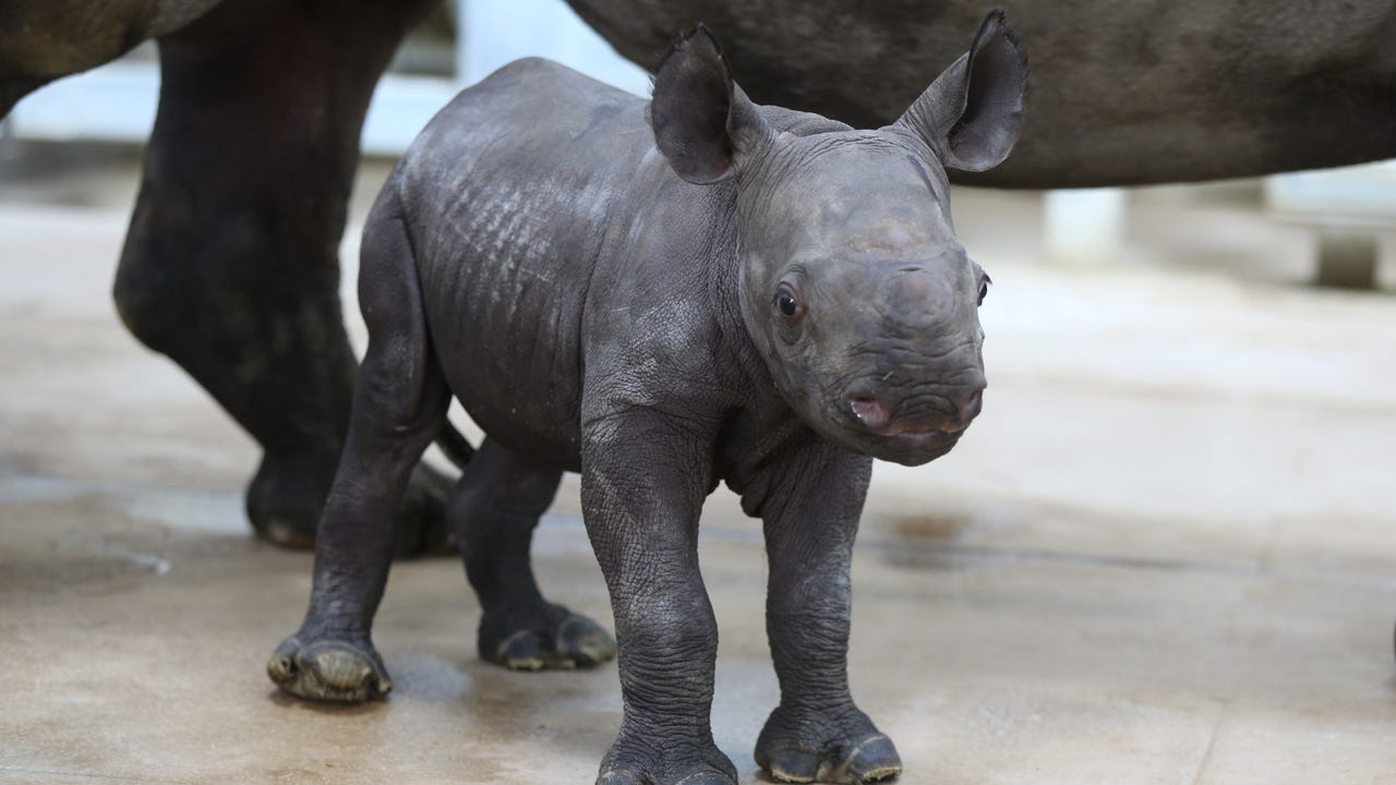 Rare newborn black rhino plays at Blank Park Zoo