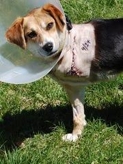 Chandler, a gutsy little beagle.