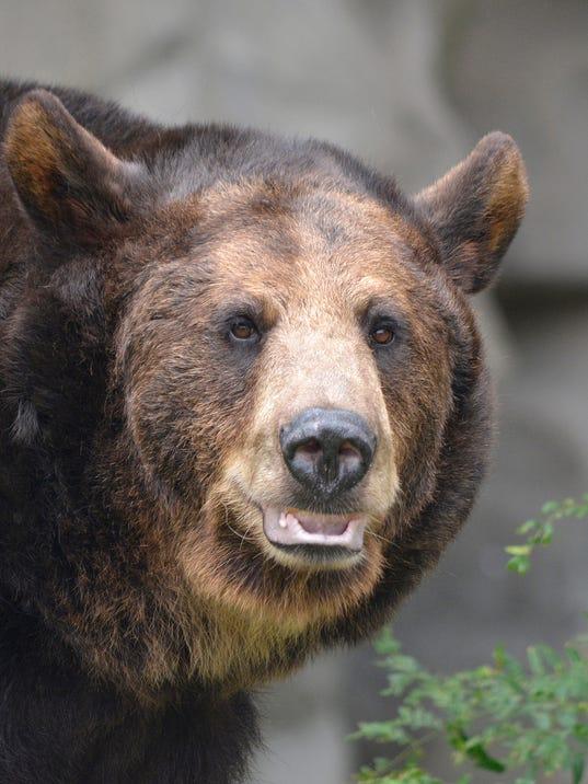 636413296579760229-Brown-bear---Polly---Roy-Lewis-1-.jpg