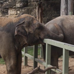 This elephant has a new buddy after years on her own