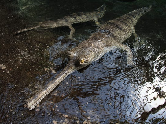 In spring 2017, the Bronx Zoo added eight Indian gharials