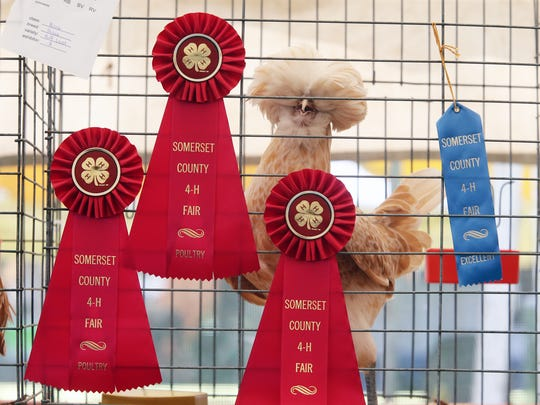 FInal day for the 2016 Somerset County 4-H Fair is photographed on Friday  August 12, 2016. An award winning chicken peers out from around it's many ribbons it had won during the three day event.