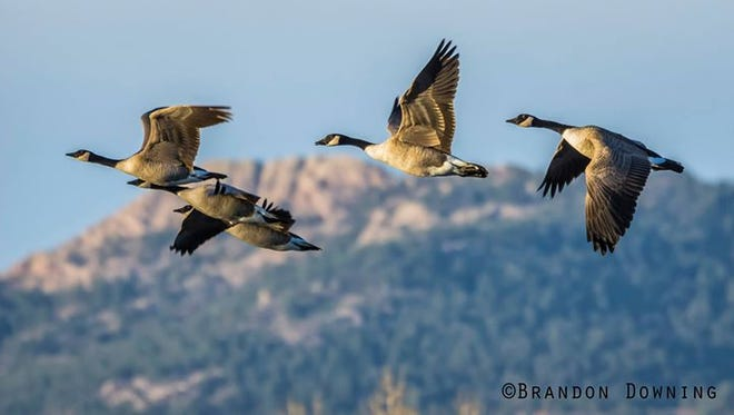 A flock of geese fly together this fall, with Horsetooth Rock in the background.