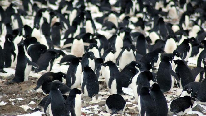 The researchers found that the Danger Islands have 751,527 pairs of Adélie penguins -- more than the rest of the entire Antarctic Peninsula region combined. They include the third and fourth largest Adélie penguin colonies in the world.