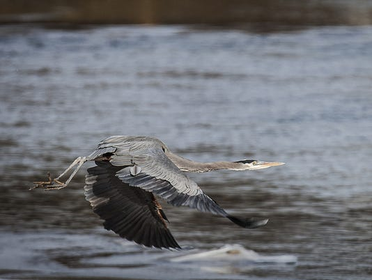Heron White River Muncie