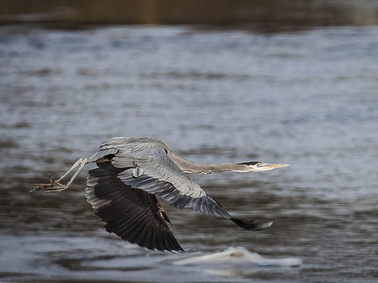 A heron flies over the White River.