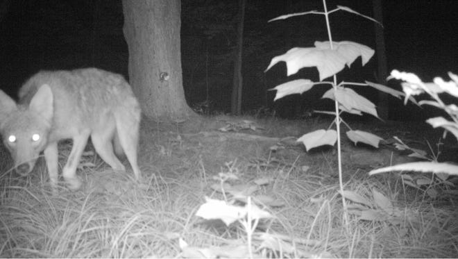 A coyote roams a small forested area in Dutchess County during the night. This photo was captured by a motion-sensitive camera as part of a study to examine the impact of different predators on the rates of Lyme disease. This photo was taken June 25, 2012.