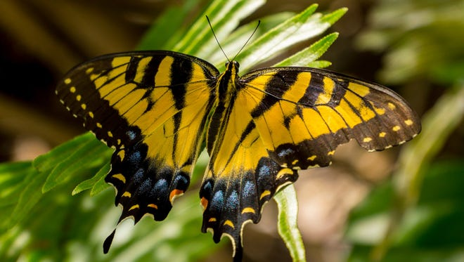 Richard Knapp found a swallowtail butterfly at Seabranch Preserve State Park in Stuart.