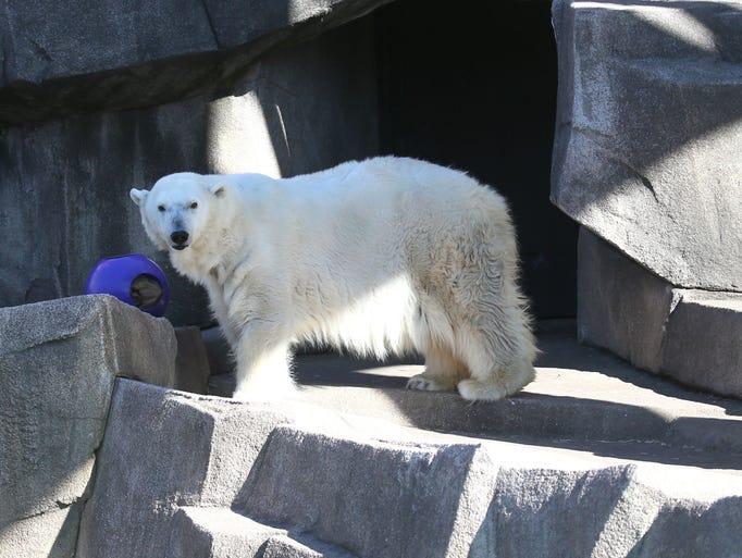 Snow Lilly, the Milwaukee County Zoo's polar bear,