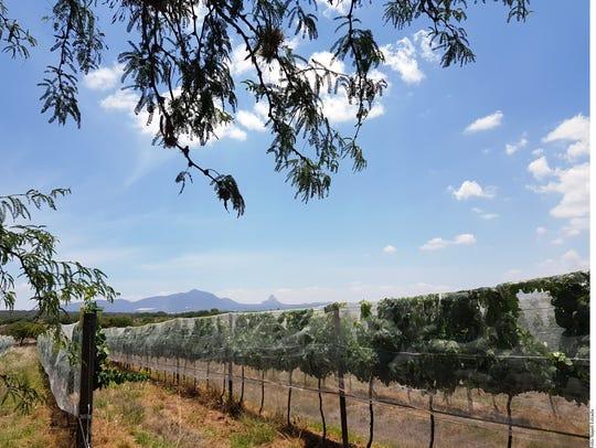 La viticultura del valle de Bernal, es llamada extrema