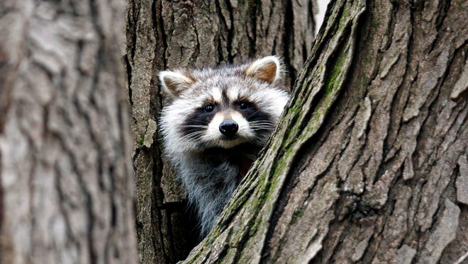 A raccoon hides in a tree at George Wyth State Park in Waterloo, Iowa.