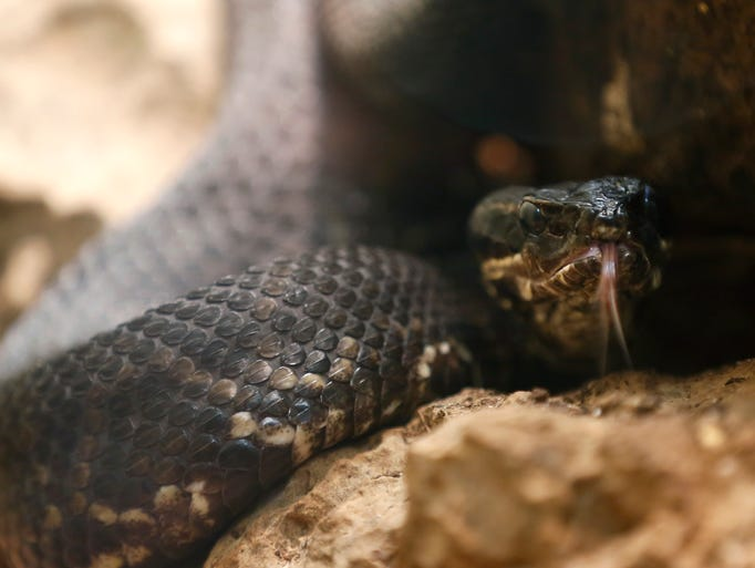 A cottonmouth snake at the Dickerson Park Zoo on Wednesday,