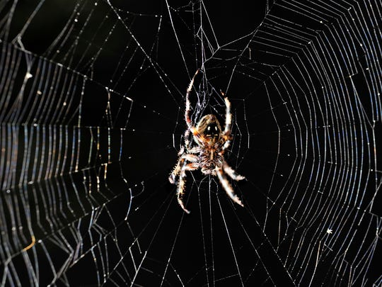 "An orb spider, often called a Halloween spider because of the ""face"" on its back, waits in its web in a tree. These spiders are commonly found in gardens, on decks and in trees."