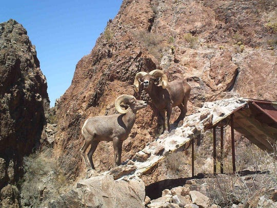 Bighorn sheep at the Barry M. Goldwater Range East,