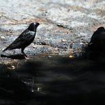 European starlings Sunday in Vineland.