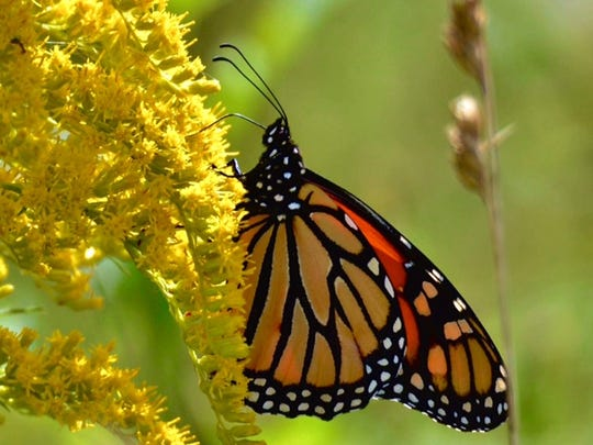 The travels of the Monarch Butterfly will amaze you.