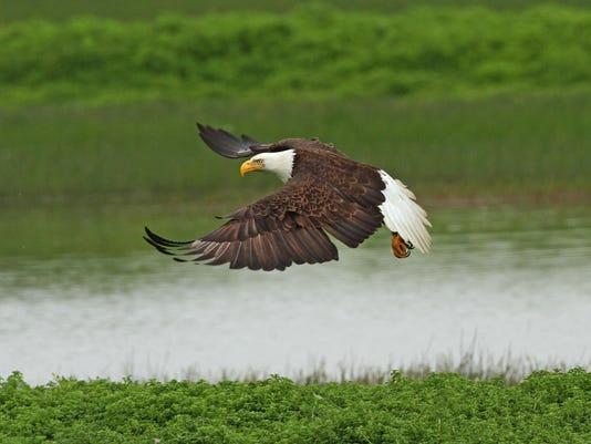 Bald Eagle Fly Baskett 18