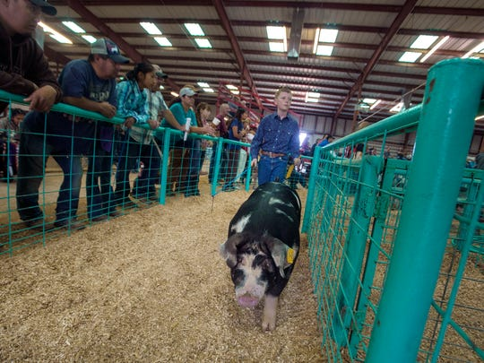 Chance Slone walks with his pig after the heavy weight spot-class competition, Wednesday during the swine show at the McGee Park's Jerry Connelly Show Ring in Farmington.