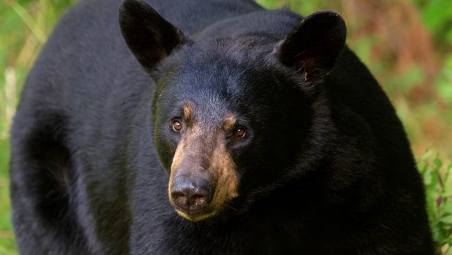 Black bears are growing in population in Florida.