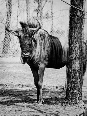 1975: A white-tailed gnu at Great Adventure.