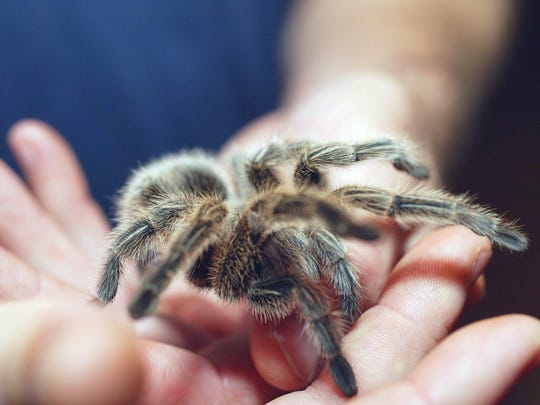 Hold a tarantula at Insectropolis, an insect learning center located in Toms River.