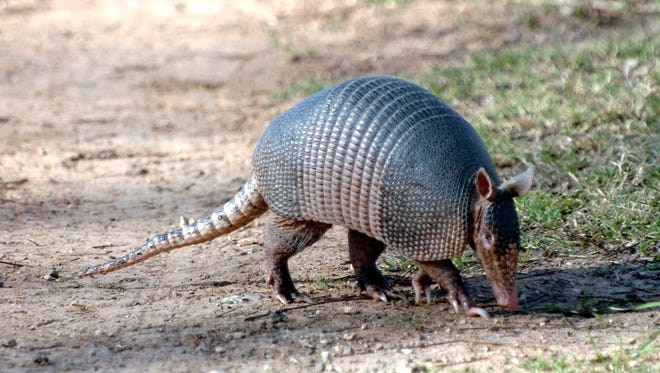 A man in East Texas suffered a minor head wound July 30, 2015, when he fired at an armadillo and the bullet ricocheted.