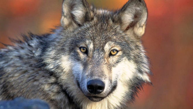 In this April 18, 2008, photo, provided by the U.S. Fish and Wildlife shows a gray wolf. The House on Friday, Feb. 26, 2016, approved a bill to expand access to hunting and fishing areas on public lands, extend protections for the use of lead bullets in hunting and strip wolves of federal protections in four states. The bill also contains a provision to remove gray wolves in the Great Lakes region and Wyoming off the federal endangered list.