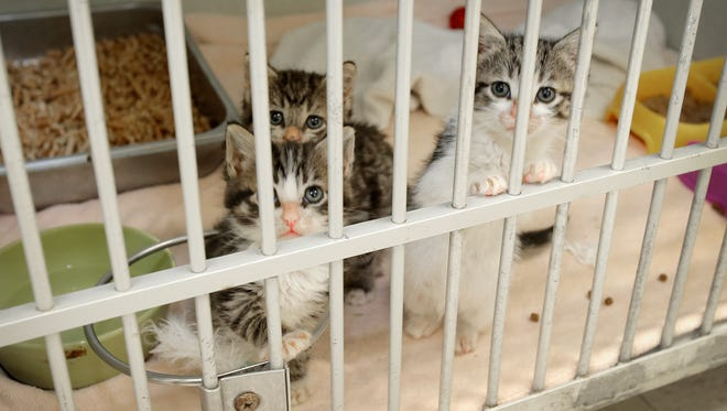 Three 5-week-old kittens sit in their cage at the Ventura County Animal Services shelter in Camarillo as they get ready to enter the shelter's foster care program and move to a home temporarily. The three were strays that came to the shelter on Dec. 19.
