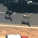 Raw: Llamas on the loose in Arizona