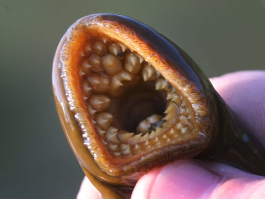 The mouth of a sea lamprey.