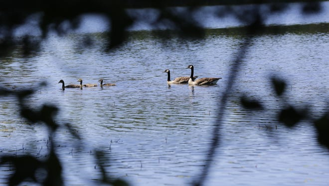 A family of geese swim to the shore of Lake Joanis at Schmeeckle Reserve in Stevens Point on Friday, July 6, 2018.