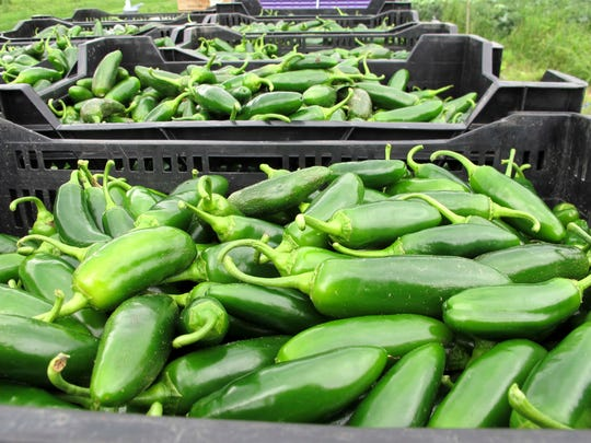 Jalapeno peppers that were picked by volunteers called a crop mob lie in containers at Maple Wind Farm in Bolton on Thursday, Aug. 18, 2016. Volunteers gather periodically at Vermont farms to help with weeding and harvesting of vegetables as a way to help out farms and learn more about agriculture. The crop mob concept has taken off in other parts of the country.