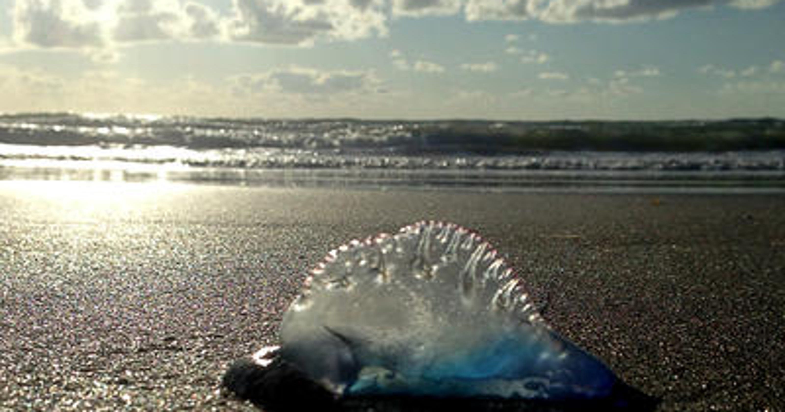 Man o' war stings reported at Brevard beaches