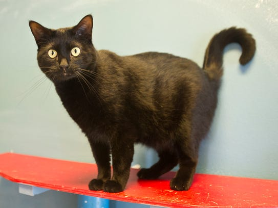 Ladden is a one-year-old, domestic short hair spayed