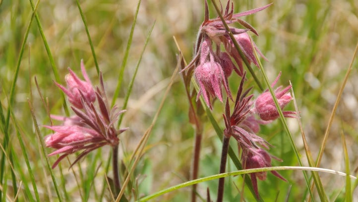 Flowers such as prairie smoke are common along the