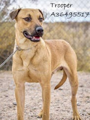 Trooper - Male (neutered) shepherd mix, about 2 years
