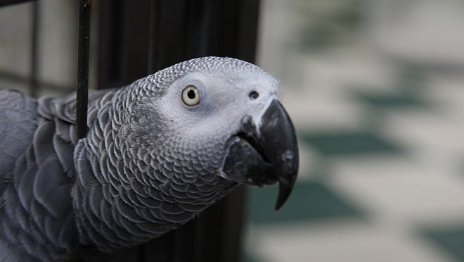 African gray parrots are among the best talkers in the bird world