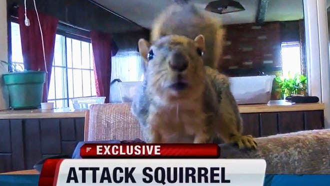 This image from video provided by KIVI-TV shows an indoor pet, a squirrel named Joey in Meridian, Idaho. Police said the squirrel has thwarted a burglary attempt. The Meridian Police Department said a juvenile entered the home last week and told police after later being arrested that the squirrel attacked him when he tried to break into a gun safe.