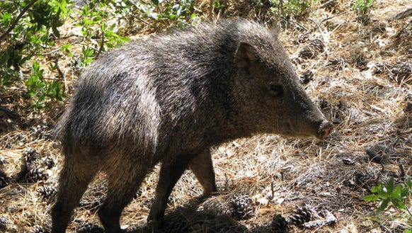 Javelinas aren't dangerous until they are. Clay Thompson