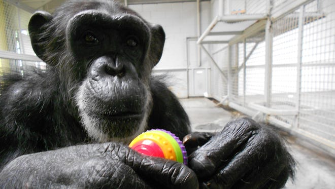 Merck & Co. is the latest in a string of pharmaceutical companies to discontinue studies of chimpanzees. An Institute of Medicine study concluded chimpanzees use in research is unnecessary.