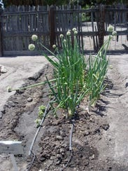 A young green onion just flowering here still offers