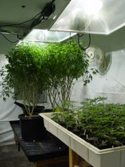 """They call these big stock plants """"mothers"""" from which"""
